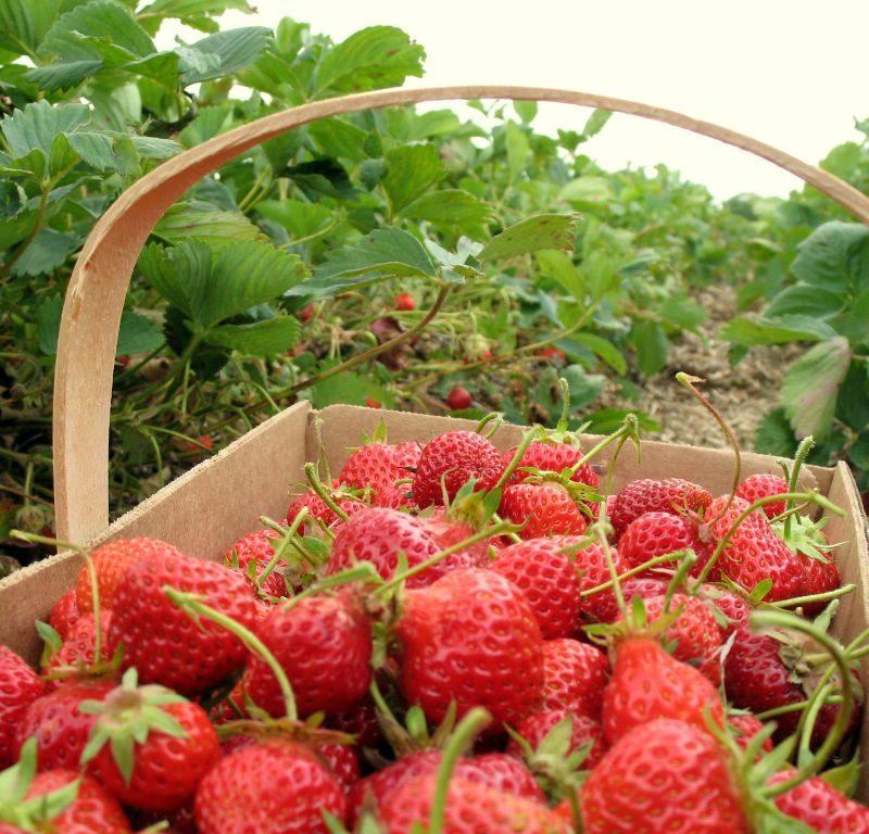 Strawberry Picking Spots
