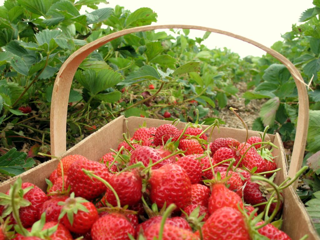 Strawberry Picking Spots
